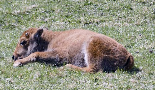 Baby Bison, Red Dog