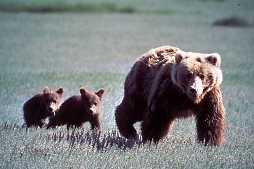 Female Grizzly Bear with Two Cubs, very like what we saw, Wikipedia