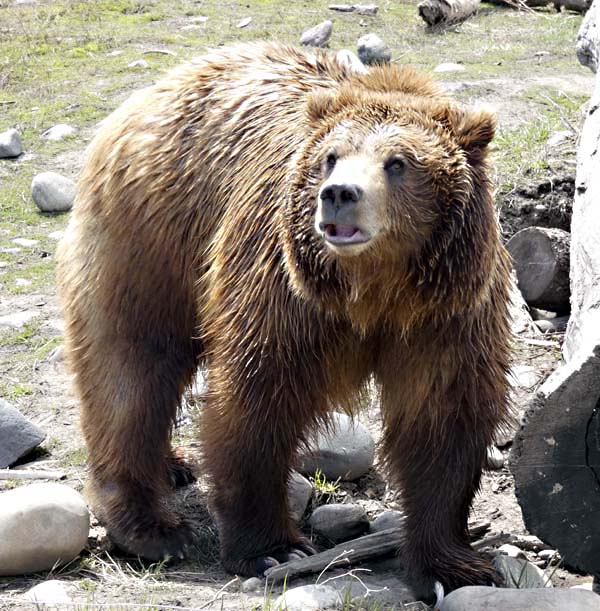 Rescued Grizzly Bear, Bozeman