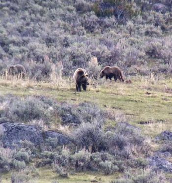 Grizzly Bear Mother & Two Cubs, iPhone 4 through Spotting Scope